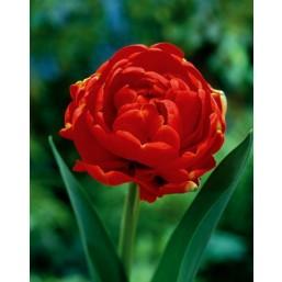 Тюльпаны Miranda