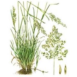 "Семена ""Мятлик луговой BARZAN"" 0,5 кг"