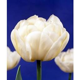 Тюльпаны Mount Tacoma
