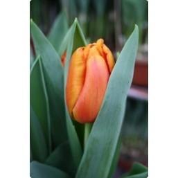 Тюльпаны Morgana