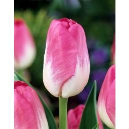 Тюльпаны Momotaro