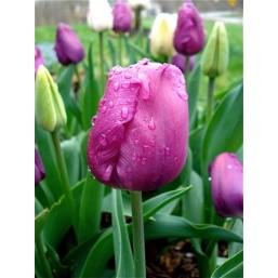 Тюльпаны Negrita