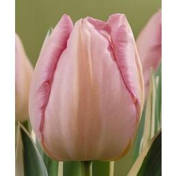 Тюльпаны New Design