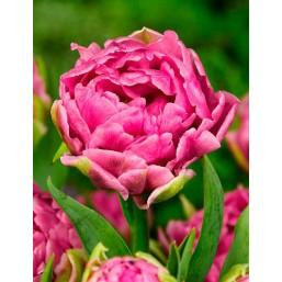 Тюльпаны Oeral