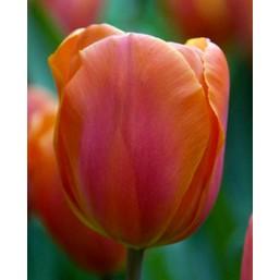 Тюльпаны Orania