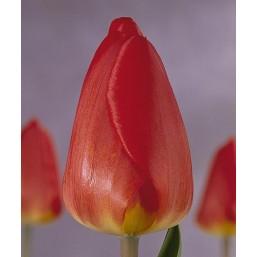 Тюльпаны Oxford