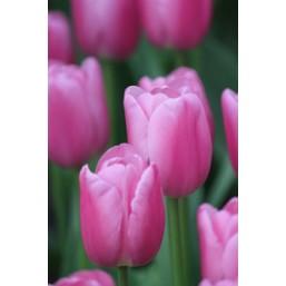 Тюльпаны Pink Twist