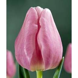 Тюльпаны Pink Lady