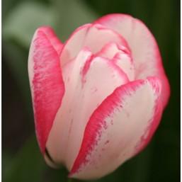 Тюльпаны Playgirl