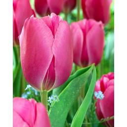 Тюльпаны Primetime