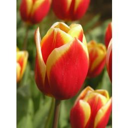 Тюльпаны Residence
