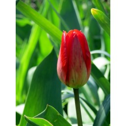 Тюльпаны Red Gold