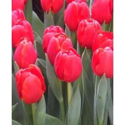 Тюльпаны Resceu