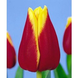 Тюльпаны Reputation