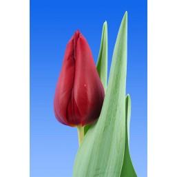 Тюльпаны Bloody Mary