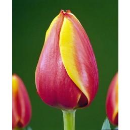 Тюльпаны Royal Ad Rem
