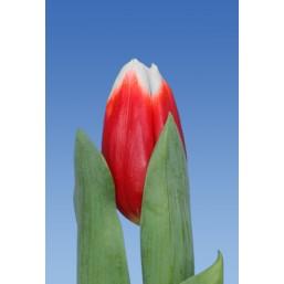 Тюльпаны Vania
