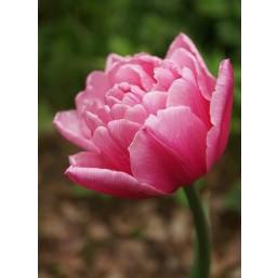 Тюльпаны Pink Miracle