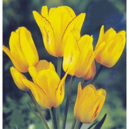 Тюльпаны Sunshine Club