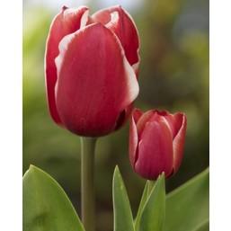 Тюльпаны Samoa