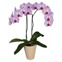 Орхидея Phalaenopsis микс, d12, h60
