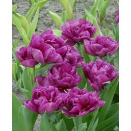 Тюльпаны Showcase