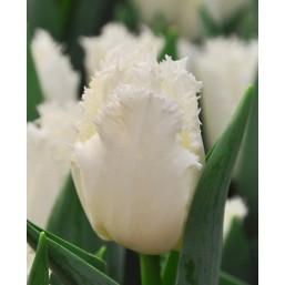 Тюльпаны Smirnoff