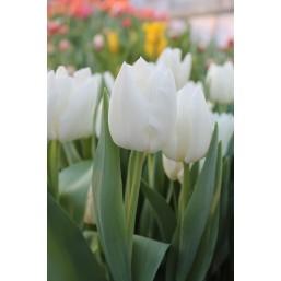 Тюльпаны Snow Lady