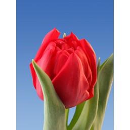 Тюльпаны Spitfire