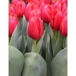 Тюльпаны Surrender