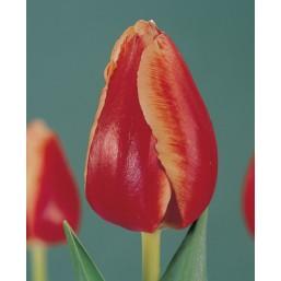 Тюльпаны Talent