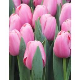 Тюльпаны Tresor