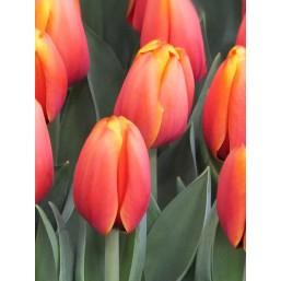 Тюльпаны Triple A