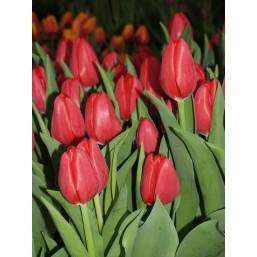 Тюльпаны Spryng Tide