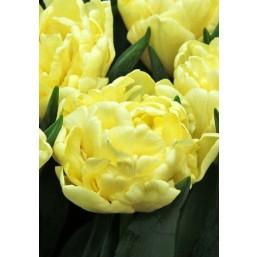 Тюльпаны Avantgarde