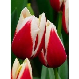 Тюльпаны Full House