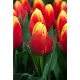 Тюльпаны Russia