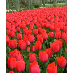 Тюльпаны Spryng