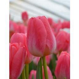 Тюльпаны Super Model