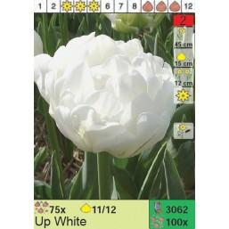 Тюльпаны Up White (x100) 11/12 (цена за шт.)