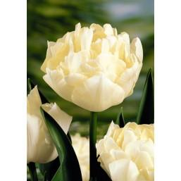 Тюльпаны Verona