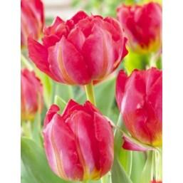 Тюльпаны Flashpoint