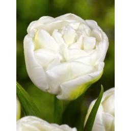 Тюльпаны White Heart
