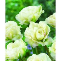 Тюльпаны White Touch