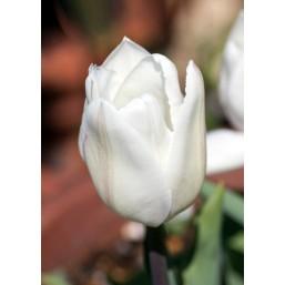 Тюльпаны White Prince
