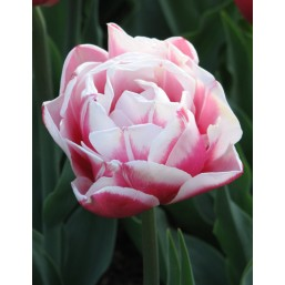 Тюльпаны Wirosa