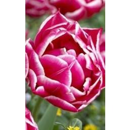 Тюльпаны Columbus