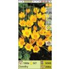 Крокус ботанический Dorothy (x200) 5/7 (цена за шт.)