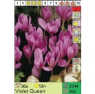 Безвременник Violet Queen (x30) 13/+ (цена за шт.)