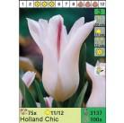 Тюльпаны Holland Chic (x100) 11/12 (цена за шт.)